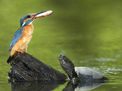 Adult Female Common Kingfisher with a Common Rudd and a Pond Turtle-Joe Petersburger-Photographic Print
