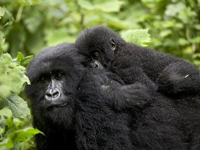 Adult Female Mountain Gorilla with Infant Riding on Her Back, Amahoro a Group, Rwanda, Africa-James Hager-Photographic Print