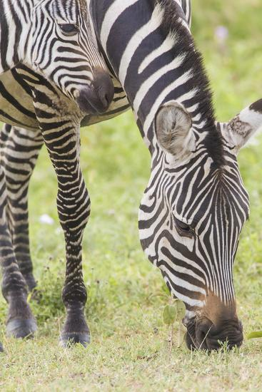 Adult Female Zebra Grazing with Her Colt, Ngorongoro, Tanzania-James Heupel-Photographic Print