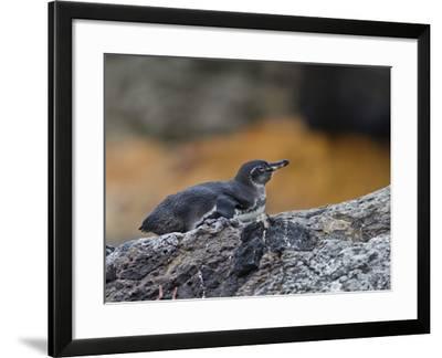 Adult Galapagos Penguin (Spheniscus Mendiculus), Galapagos Is, UNESCO World Heritage Site, Ecuador-Michael Nolan-Framed Photographic Print