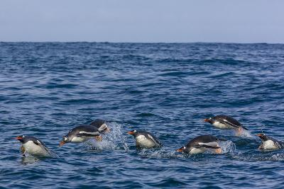 Adult Gentoo Penguins (Pygoscelis Papua) Porpoising for Speed in Cooper Bay-Michael Nolan-Photographic Print
