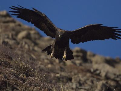 Adult Golden Eagle (Aquia Chrysaetos) , Alaska-Michael S^ Quinton-Photographic Print