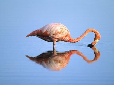 Adult Greater Flamingo (Phoenicopterus Ruber), Feeding. Isaabela Island, Galapagos Islands, Ecuador-Wayne Lynch-Photographic Print