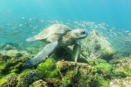 Adult Green Sea Turtle (Chelonia Mydas) Underwater Near Rabida Island-Michael Nolan-Photographic Print