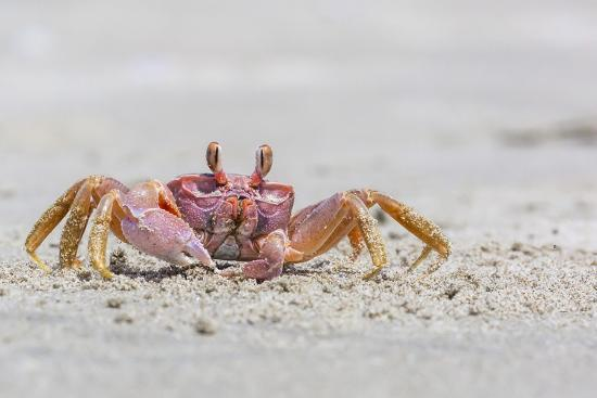 Adult Gulf Ghost Crab (Hoplocypode Occidentalis) on Sand Dollar Beach-Michael Nolan-Photographic Print