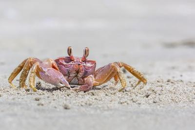 https://imgc.artprintimages.com/img/print/adult-gulf-ghost-crab-hoplocypode-occidentalis-on-sand-dollar-beach_u-l-pslira0.jpg?p=0