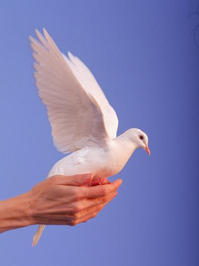 Adult Hand with White Dove-Jim McGuire-Photographic Print