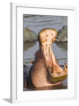 Adult Hippopotamus Opens its Jaw Really Wide, Ngorongoro, Tanzania-James Heupel-Framed Photographic Print