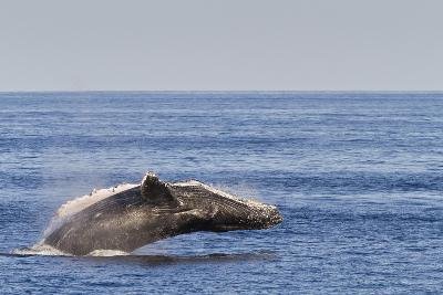 Adult Humpback Whale (Megaptera Novaeangliae) Breach, Gulf of California, Mexico-Michael Nolan-Photographic Print