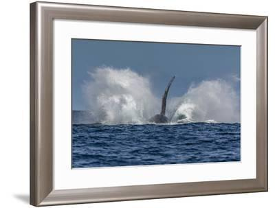 Adult Humpback Whale (Megaptera Novaeangliae), Breaching in the Shallow Waters of Cabo Pulmo-Michael Nolan-Framed Photographic Print