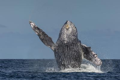 Adult Humpback Whale (Megaptera Novaeangliae), Breaching in the Shallow Waters of Cabo Pulmo-Michael Nolan-Photographic Print