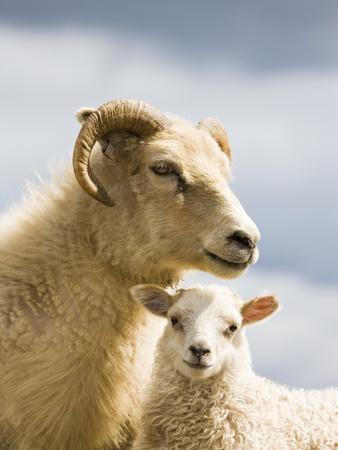 https://imgc.artprintimages.com/img/print/adult-icelandic-sheep-with-lamb_u-l-pzl65e0.jpg?p=0