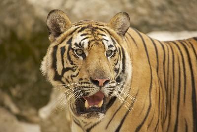 Adult Indochinese Tiger.-Dmitry Chulov-Photographic Print