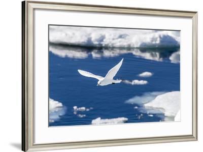 Adult Ivory Gull (Pagophila Eburnea)-Michael Nolan-Framed Photographic Print