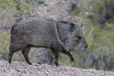 https://imgc.artprintimages.com/img/print/adult-javalina-in-the-sonoran-desert-suburbs-of-tucson-arizona-usa_u-l-q1bodwc0.jpg?p=0