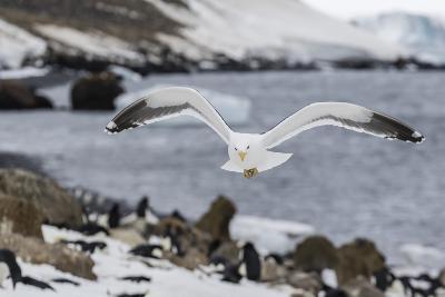 Adult Kelp Gull (Larus Dominicanus) in Flight at Brown Bluff, Antarctic Sound, Antarctica-Michael Nolan-Photographic Print