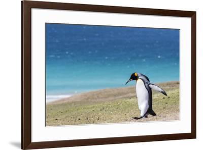Adult king penguin (Aptenodytes patagonicus) on the grassy slopes of Saunders Island, Falkland Isla-Michael Nolan-Framed Photographic Print