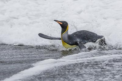 Adult King Penguin (Aptenodytes Patagonicus) Returning from Sea at St. Andrews Bay, Polar Regions-Michael Nolan-Photographic Print