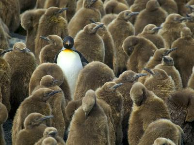 Adult King Penguin with Group of Juveniles-Darrell Gulin-Photographic Print