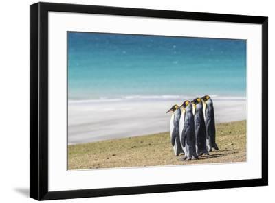 Adult king penguins (Aptenodytes patagonicus) on the grassy slopes of Saunders Island, Falkland Isl-Michael Nolan-Framed Photographic Print