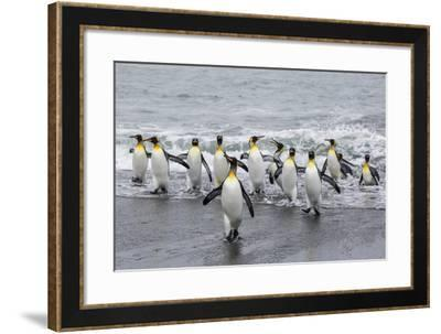 Adult King Penguins (Aptenodytes Patagonicus) Returning from Sea at St. Andrews Bay, Polar Regions-Michael Nolan-Framed Photographic Print