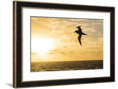Adult Light-Mantled Sooty Albatross (Phoebetria Palpebrata) in Flight in the Drake Passage-Michael Nolan-Framed Photographic Print