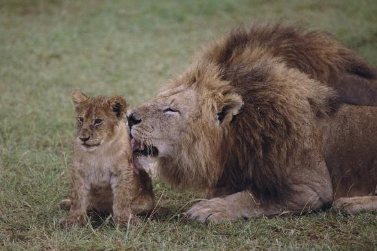 Adult Lion Cleaning Cub-DLILLC-Photographic Print