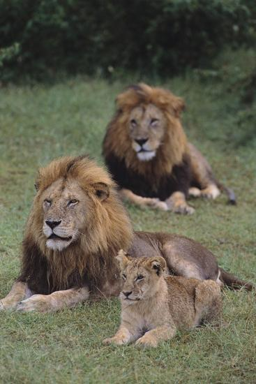 Adult Lions with Cub in Grass-DLILLC-Photographic Print