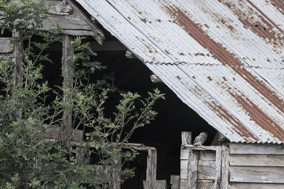 Adult Little Owl (Athene Noctua) Peering Out from an Old Barn-Brent Stephenson-Photographic Print