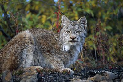 Adult Lynx on Hill Side Denali Np in Alaska Summer-Design Pics Inc-Photographic Print