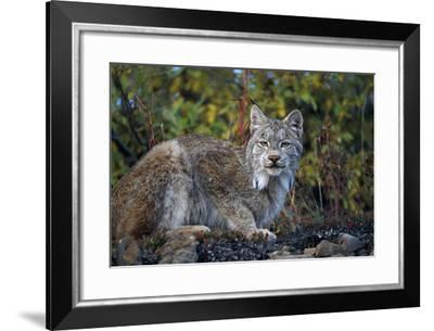 Adult Lynx on Hill Side Denali Np in Alaska Summer-Design Pics Inc-Framed Photographic Print