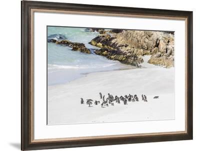 Adult Magellanic penguins (Spheniscus magellanicus) on the beach at Gypsy Cove, East Island, Falkla-Michael Nolan-Framed Photographic Print