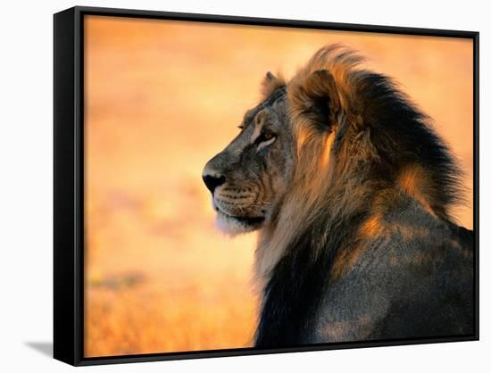 Adult Male African Lion-Nicole Duplaix-Framed Canvas Print