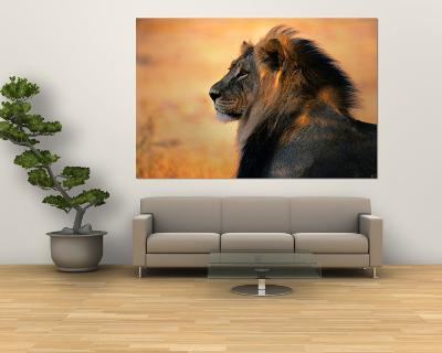 Adult Male African Lion-Nicole Duplaix-Giant Art Print
