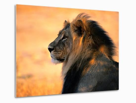 Adult Male African Lion-Nicole Duplaix-Metal Print