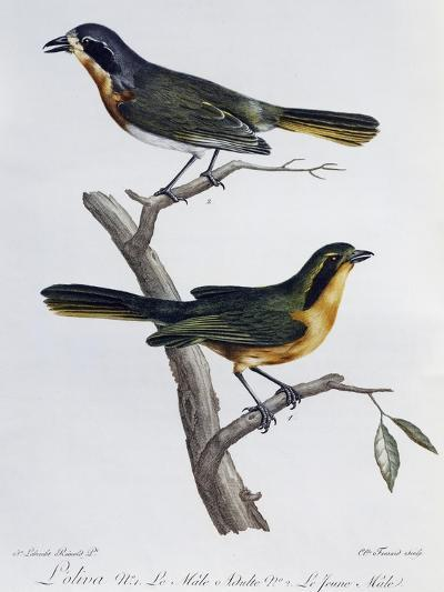 Adult Male and Young of Olive Bushshrike (Telophorus Olivaceus)--Giclee Print