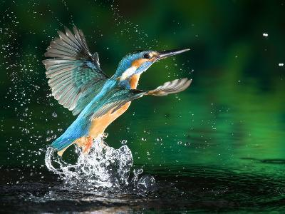 Adult Male Common Kingfisher, Alcedo Atthis, Emerging Without a Fish-Joe Petersburger-Photographic Print