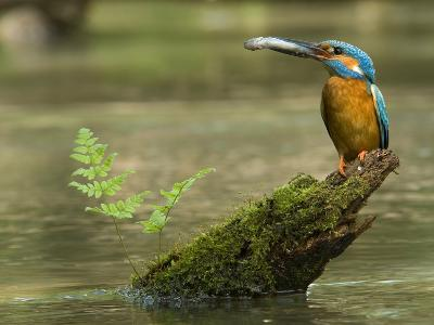 Adult Male Common Kingfisher, Alcedo Atthis, Holds a Topmouth Gudgeon-Joe Petersburger-Photographic Print