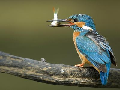 Adult Male Common Kingfisher, Alcedo Atthis, Perches Holding a Fish-Joe Petersburger-Photographic Print