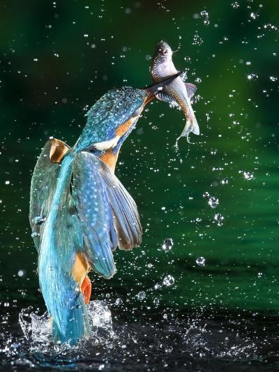 Adult Male Common Kingfisher, Alcedo Atthis, with an Amur Bitterling-Joe Petersburger-Photographic Print