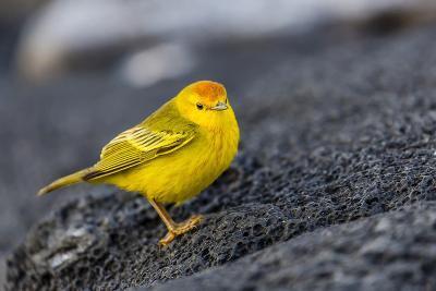 Adult Male Galapagos Yellow Warbler (Setophaga Petechia Aureola) at Puerto Egas-Michael Nolan-Photographic Print