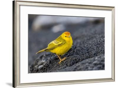 Adult Male Galapagos Yellow Warbler (Setophaga Petechia Aureola) at Puerto Egas-Michael Nolan-Framed Photographic Print