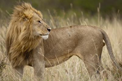 Adult Male Lion in Tall Grass in Masai Mara National Reserve--Photographic Print