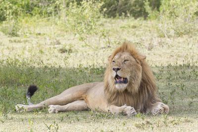 Adult Male Lion Lies on Shaded Grass, Ngorongoro, Tanzania-James Heupel-Photographic Print