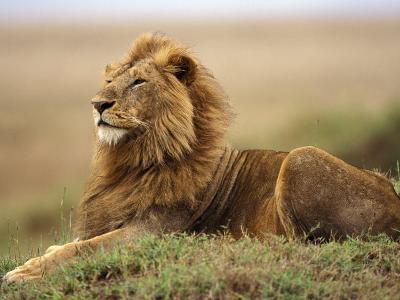Adult male lion on termite mound-Adam Jones-Photographic Print