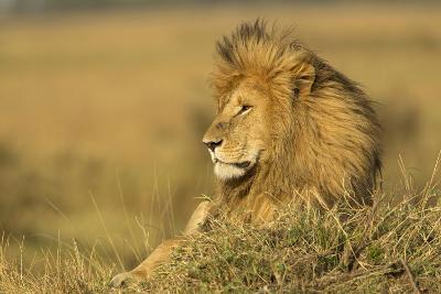 Adult Male Lion Resting on Termite Mound, Masai Mara, Kenya-Adam Jones-Photographic Print