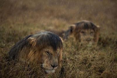 Adult Male Lions Lie Side by Side During an Afternoon Rain Shower in Serengeti National Park-Michael Nichols-Photographic Print