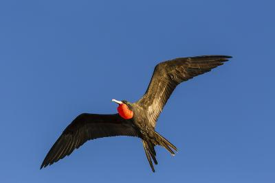 Adult Male Magnificent Frigatebird (Fregata Magnificens), San Gabriel Bay, Espiritu Santo Island-Michael Nolan-Photographic Print