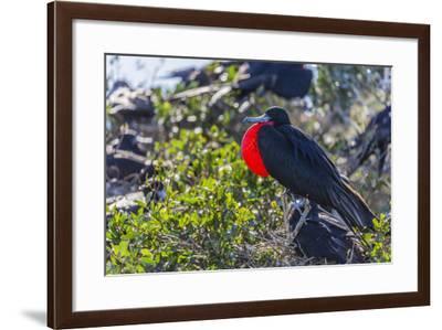 Adult Male Magnificent Frigatebird (Fregata Magnificens), San Gabriel Bay, Espiritu Santo Island-Michael Nolan-Framed Photographic Print