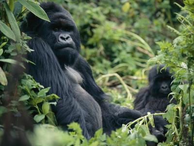 Adult Male Mountain Gorilla-Michael Nichols-Photographic Print